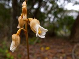 Gastrodia sesamoides (Orchidaceae) – Blue Mountains, Australia. Photo by Vincent Merckx