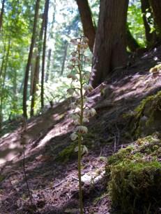 Pyrola aphylla (Ericaceae) – Umpqua forest, Oregon, USA. Photo by Vincent Merckx