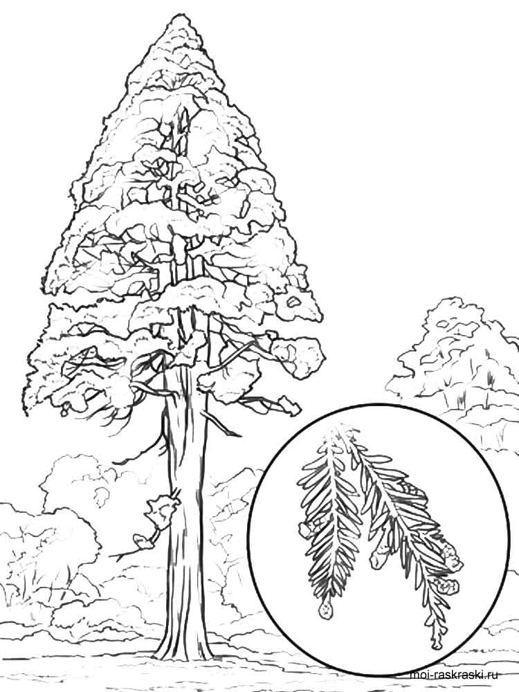 Sequoia Tree Coloring Pages For Kids Free Printable