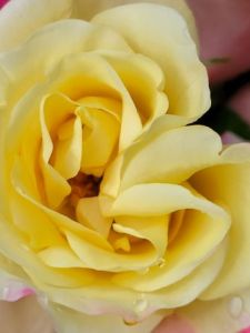 Slow Down Yellow and Rose