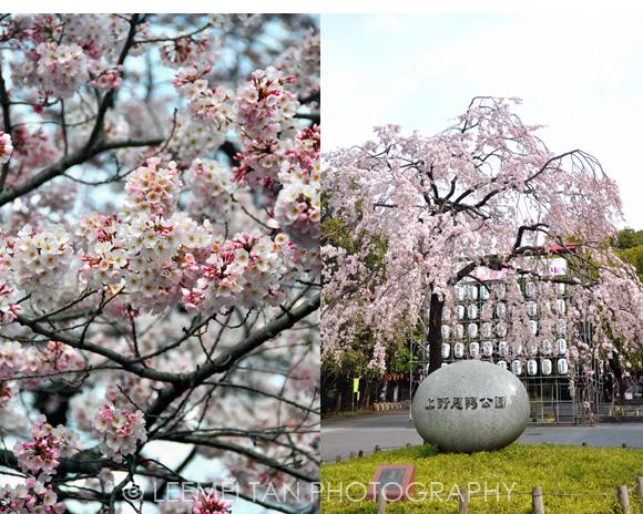 cherry-blossom-ueno-park
