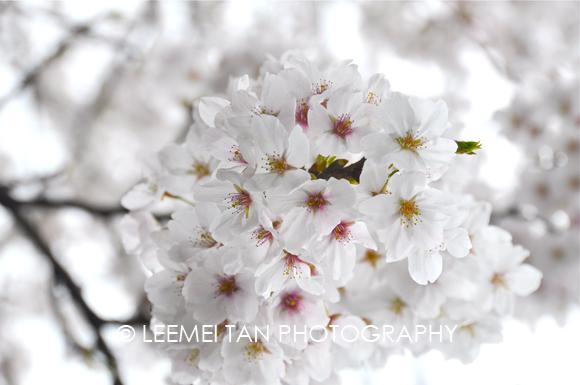 kinosaki_sakura