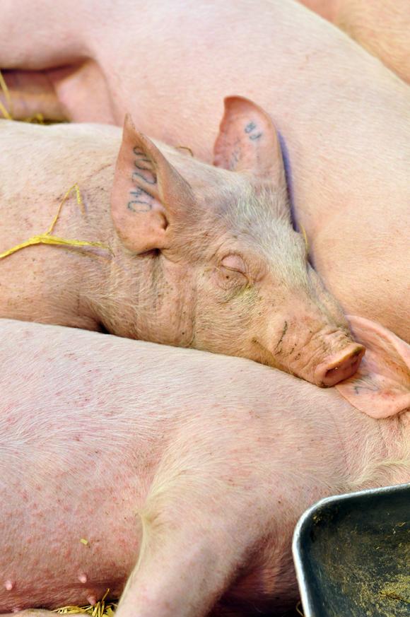 pigs-salon-de-lagriculture