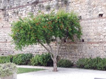 Tree inside Juliet Castle