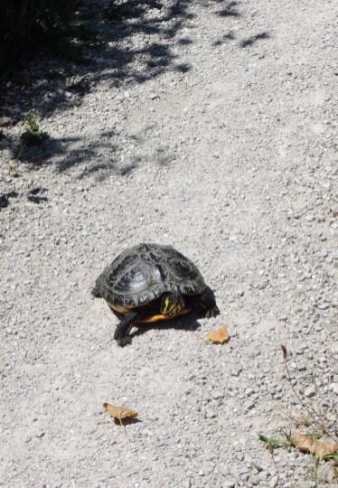 Turtle or Tortoise?