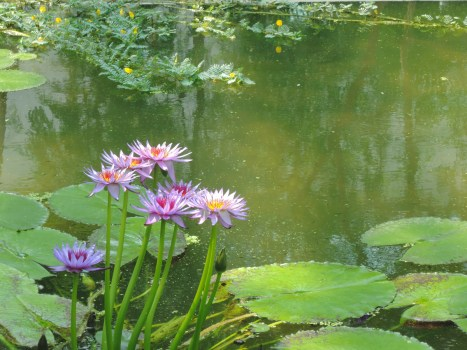 Water lilies , Botanical Garden in Padua