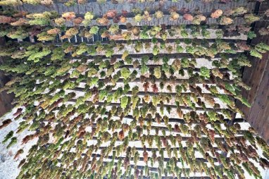 Hanging grapes in Soave