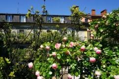 Roses in Corso Como