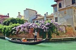 Wisteria in Venice