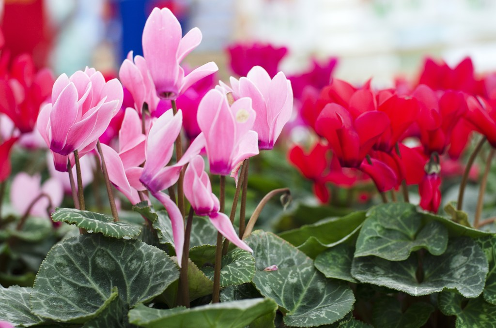 Cyclamen Plants are an ideal gift. Very few people know how to keep this plant blooming all year round. The 5 secrets to keeping this plant blooming are to only water when the soil is dry, keep away from heaters, keep the plant outside at night and place next to a window.