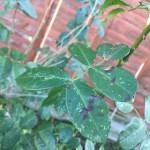 black spots on rose