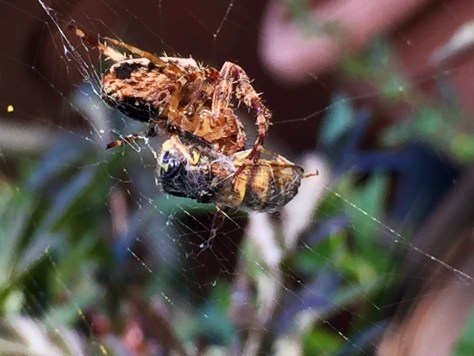 Orb web spider wrapping wasp