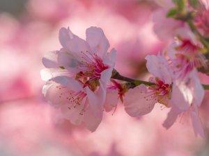 cherry blossom, flower, blossom