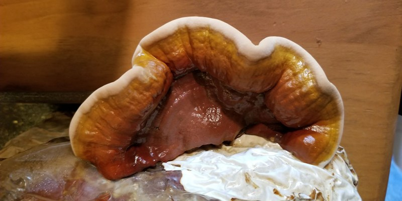 Reishi nootropic mushroom