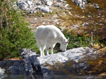 Apparently the goats like licking the rocks. Seems they get the salt from them. Someone must have peed there.