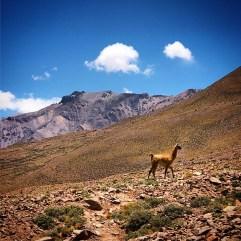 A guanaco in the Vacas Valley