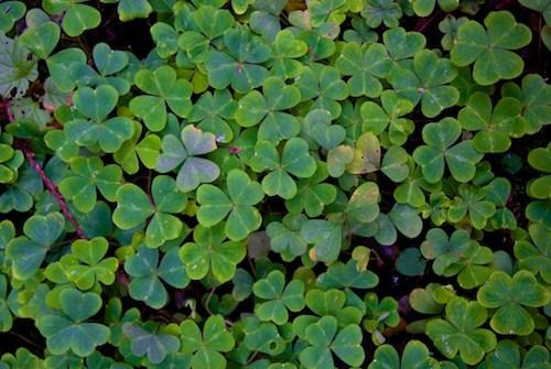 green clovers