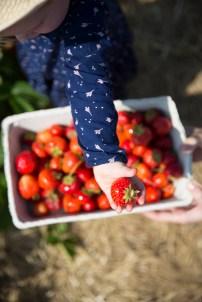 Strawberry picking 11