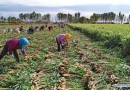 Agrolog, Mastercard Foundation Partner To Empower 60,000 Ginger Farmers in Nigeria