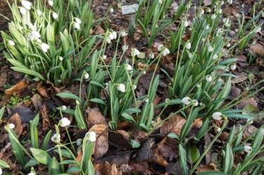 Galanthus plicatus 'Durris'