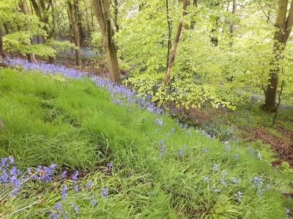 Bluebell wood - Seaton Park