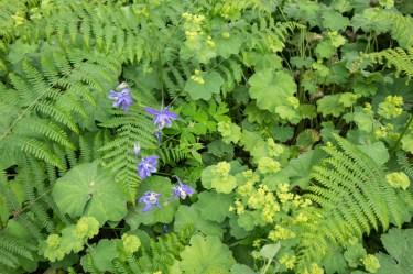 Aquilegia, alchemilla mollis and fern underplanting