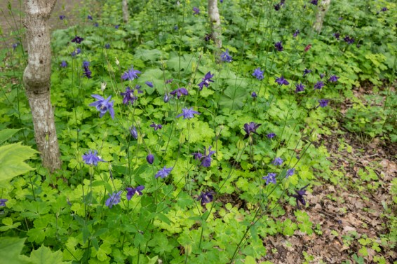 Green tree under planting with Aquilegia