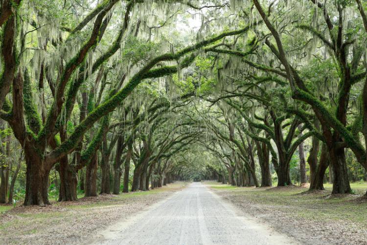 Southern Charm canopy of live oaks