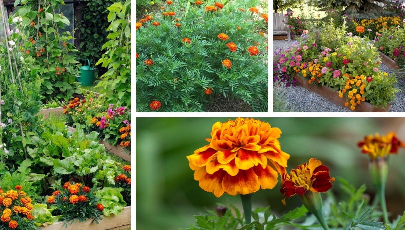 Marigold A Durable Flower That Protects Vegetables And Beautify