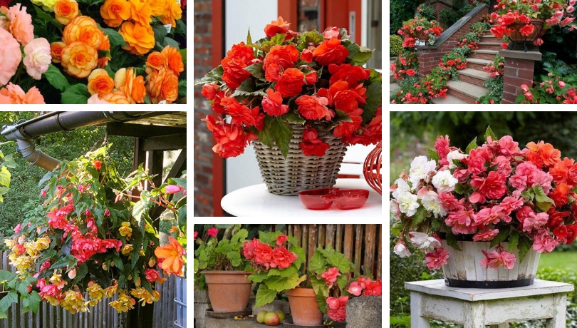 Begonia 50 Beautiful Images For Home And Garden Decoration And