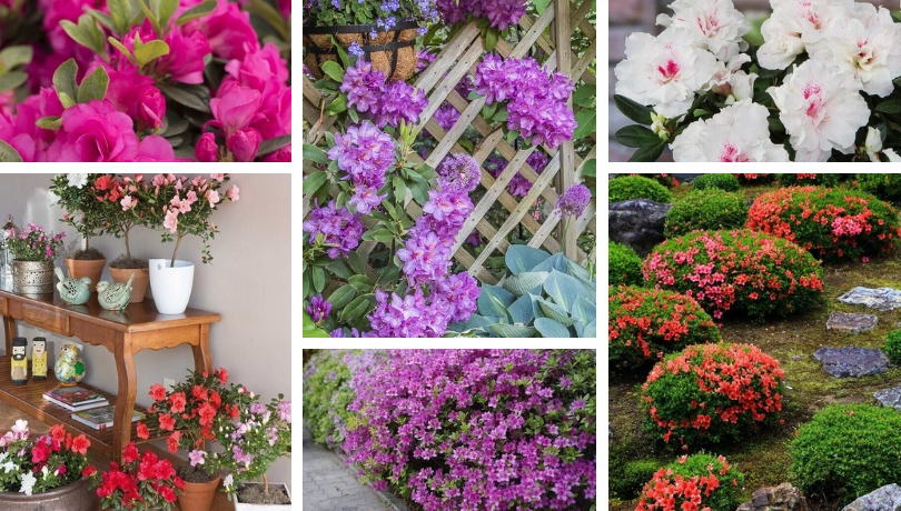Azalea How To Care And 40 Wonderful Ideas For Home And Garden