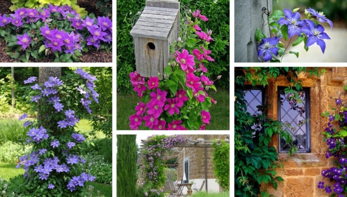 Clematis, the queen of climbing plants – great ideas for your yard and garden