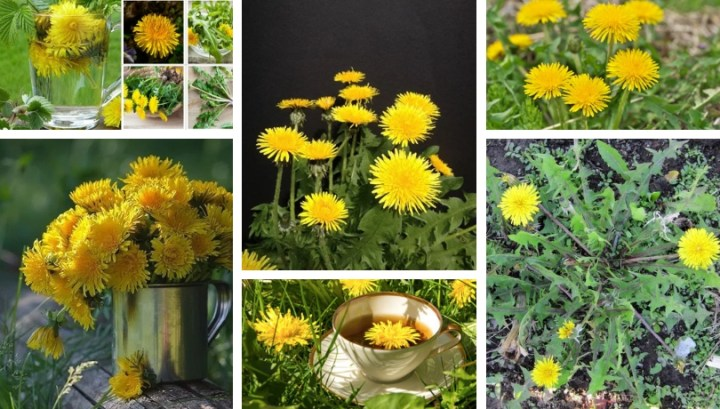 Dandelions – not an annoying weed, but a medicinal plant in your garden