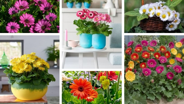 Gerbera the impressive African daisy in the  beauty service for your garden