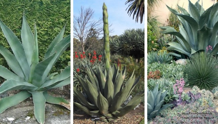 Giant succulents ideas that will impress you