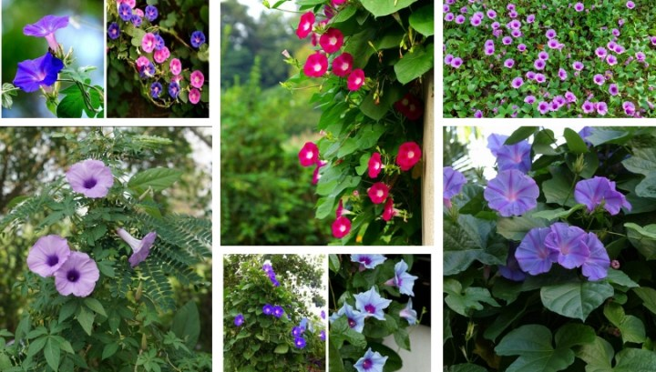 Ipomoea the impressive climbing cone – an easy and highly ornamental plant for gardens and balconies.