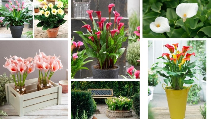 Calla, a beautiful and durable lily for your yard and garden