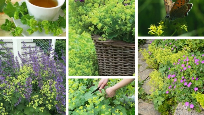 Lady's Mantle – an easy-care ground cover with a healing effect in your garden