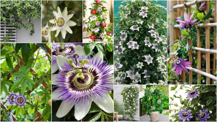 Passiflora: The flower – fruit of … passion in your pot and garden