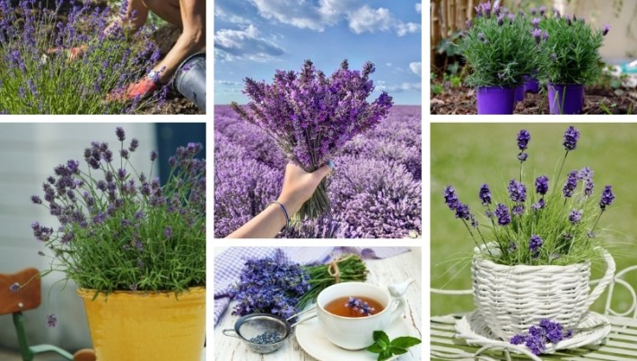 Planting lavender in pot and garden: what do you need to know for perfect results?