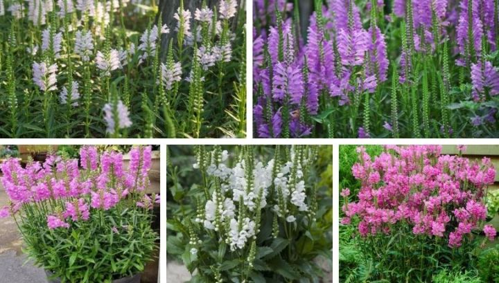 Physostegia a beautiful, delicate look flower for your pot and garden