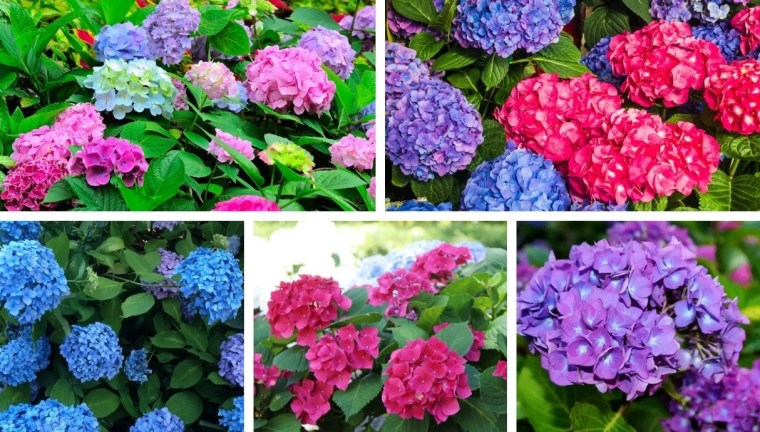 An easy way to change the color of your hydrangea to pink, blue and purple