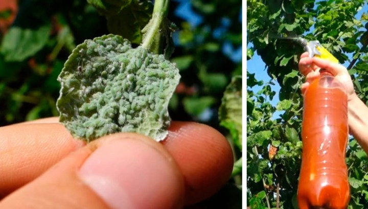Grandma's remedy for aphids – works flawlessly without harm the plants