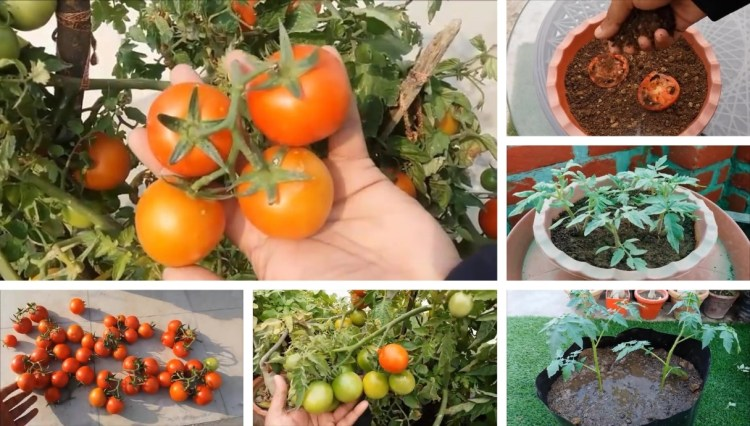 Gardening tips seed to harvest: How to grow easily tomatoes at home