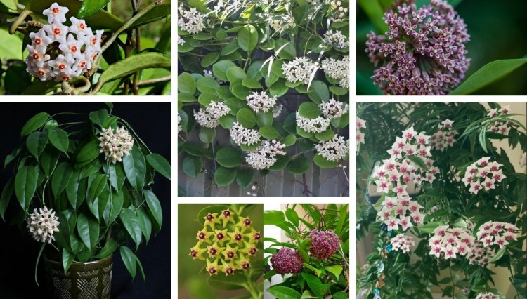 Gardening: Hoya One of the most beautiful flowering succulents in your pot and garden