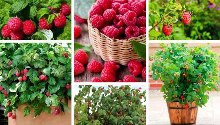 9 Simple secrets for a rich Raspberries harvest