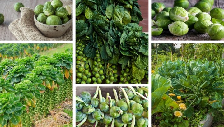 How to grow Brussels sprouts in pots and your garden