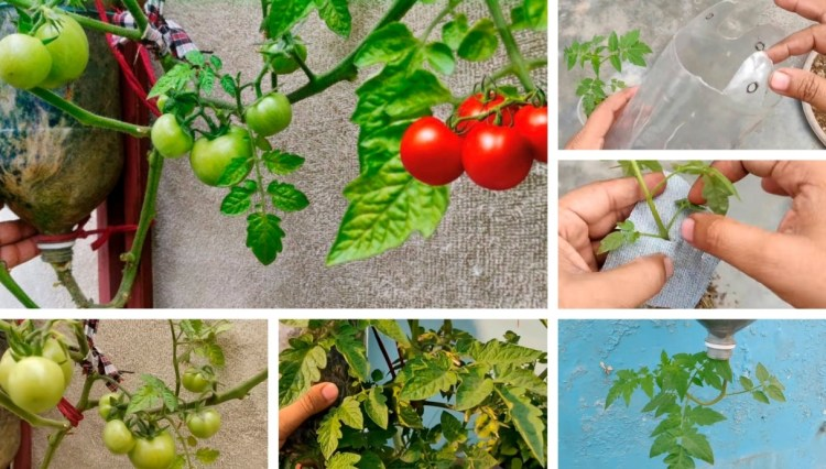 Clever tomato experiment: growing upside down in a bottle