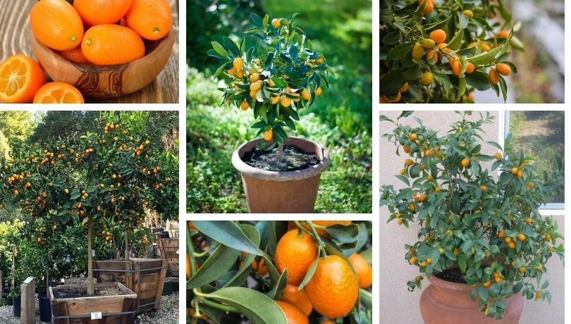 Secrets for growing kumquats in the garden and in a pot