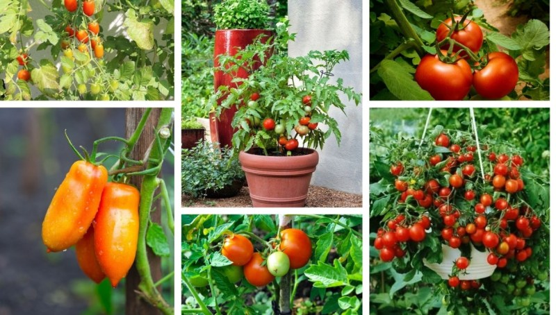Which vegetables make a good neighbor with tomatoes – Practical tips in the garden